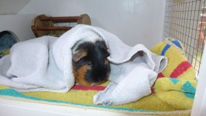 Meeschwein
